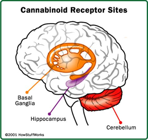 Marijuana Short and Long Term Effects on the Brain Essay